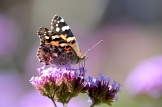 Steider Studios. Painted Lady Butterfly Macro