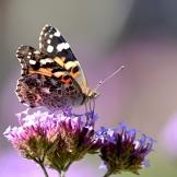 Steider Studios. Painted Lady Butterfly Macro