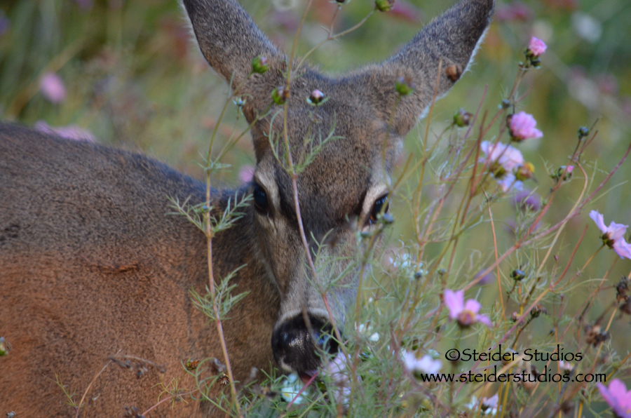 Steider Studios:  Deer in Garden Eating my Flowers.