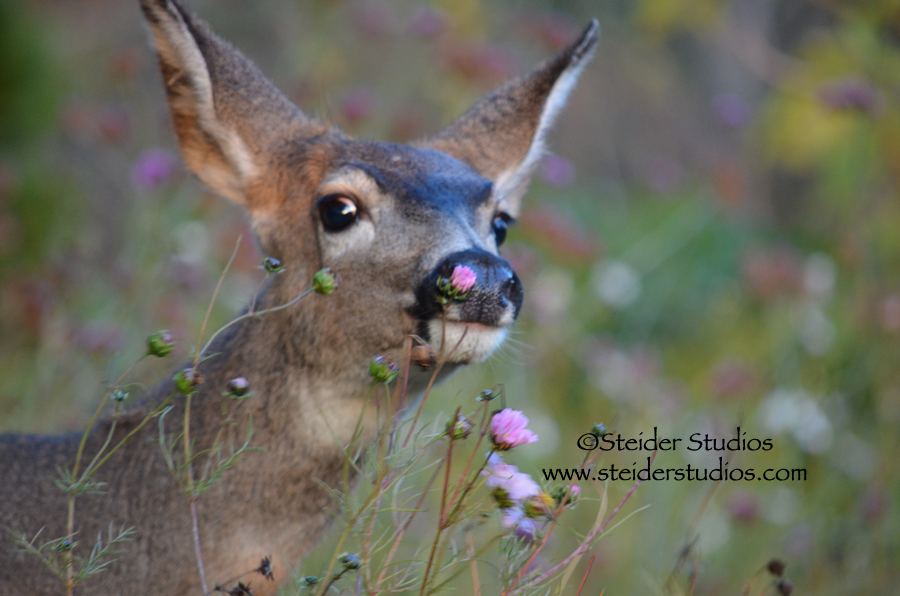 Steider Studios:  Deer in Garden Eating Cosmos
