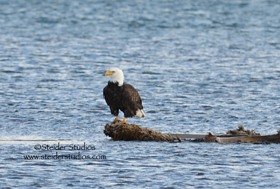 Steider Studios:  Winter Eagle on Columbia River