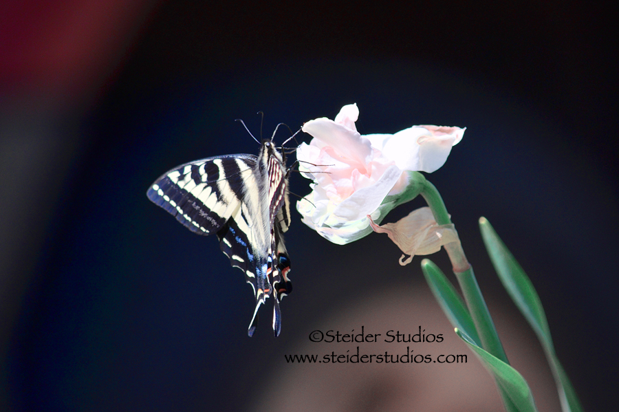 Steider Studios:  Swallowtail on Double Daffodil