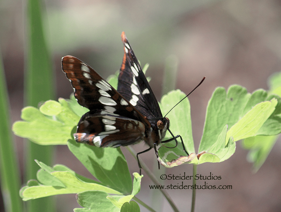 Steider Studios:  Northern Checkerspot
