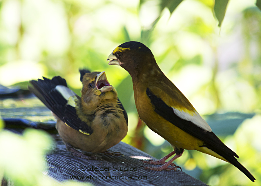 Steider Studios:  Evening Grosbeak Daddy Feeding Baby