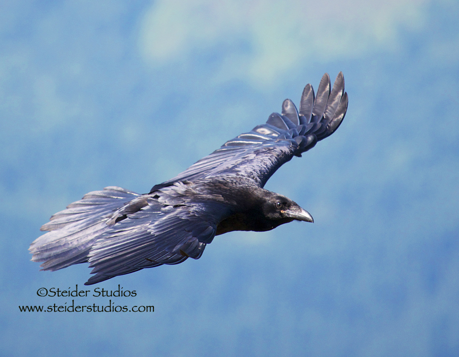 Steider Studios:  Raven in Flight