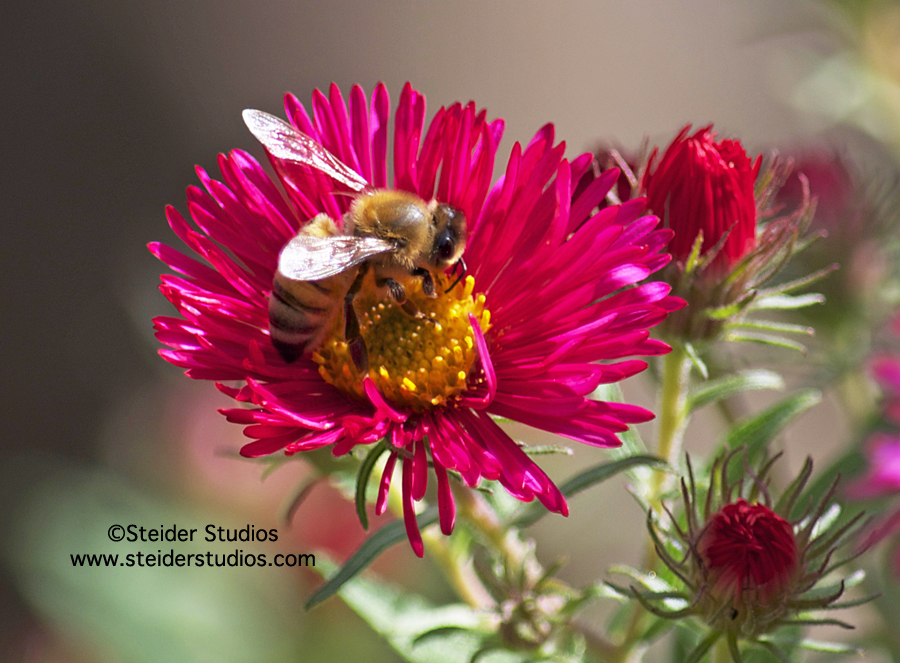 Steider Studios:  Bee on Pink Aster