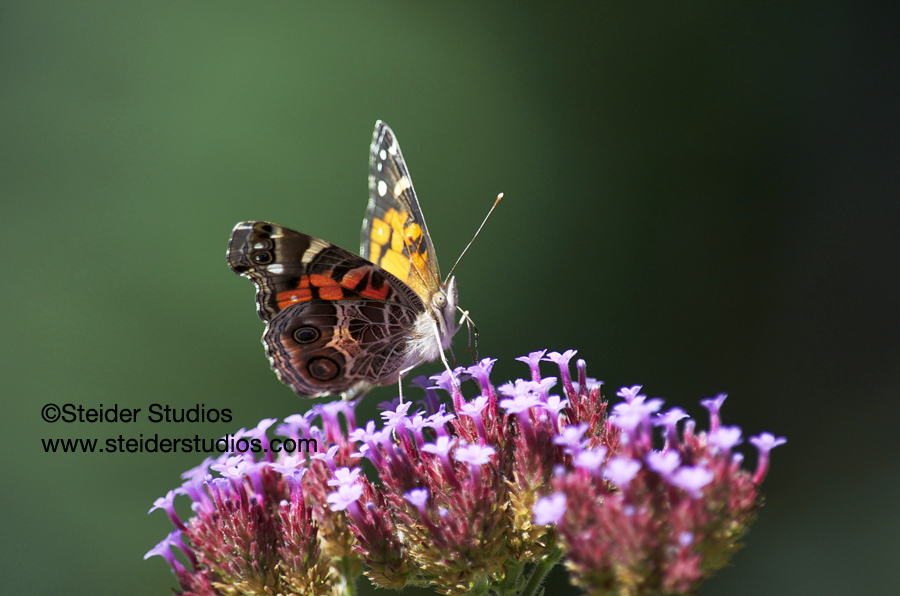 Steider Studios:  Painted Lady Butterfly on Verbena