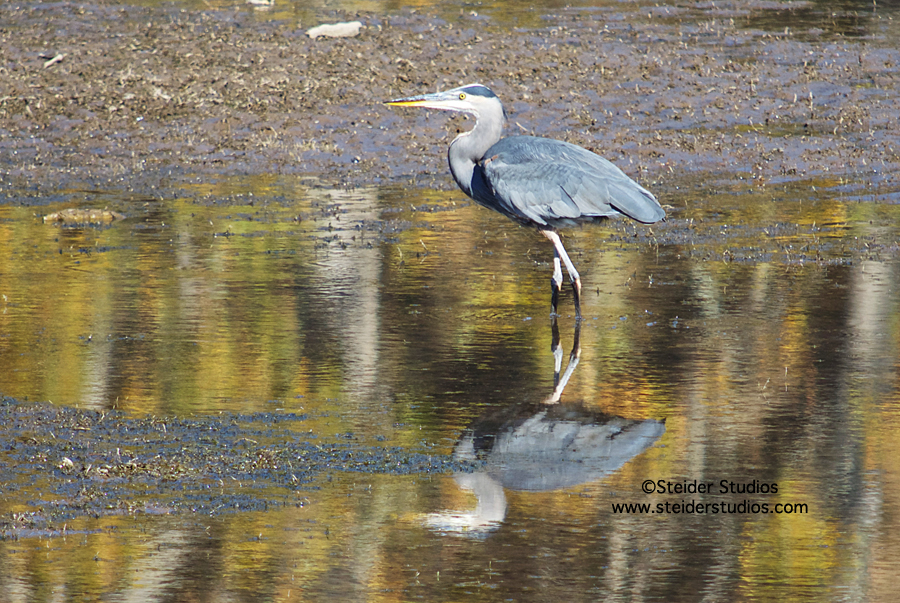 Steider Studios:  Heron in Fall Colors.10.25.13