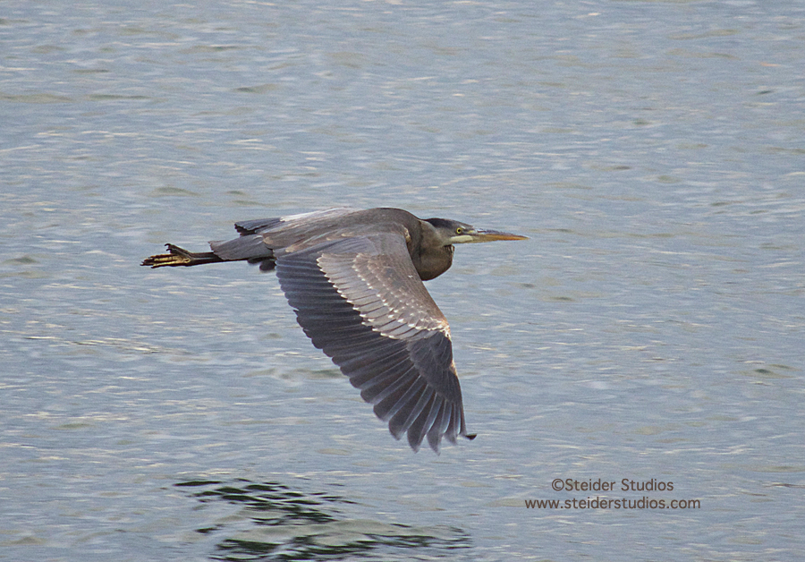 Steider Studios:  Heron in Flight.11.18.13