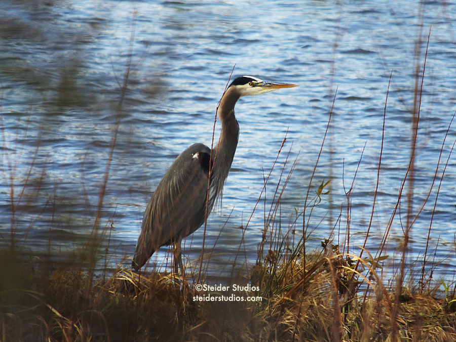 Steider Studios:  Heron on the Hood River