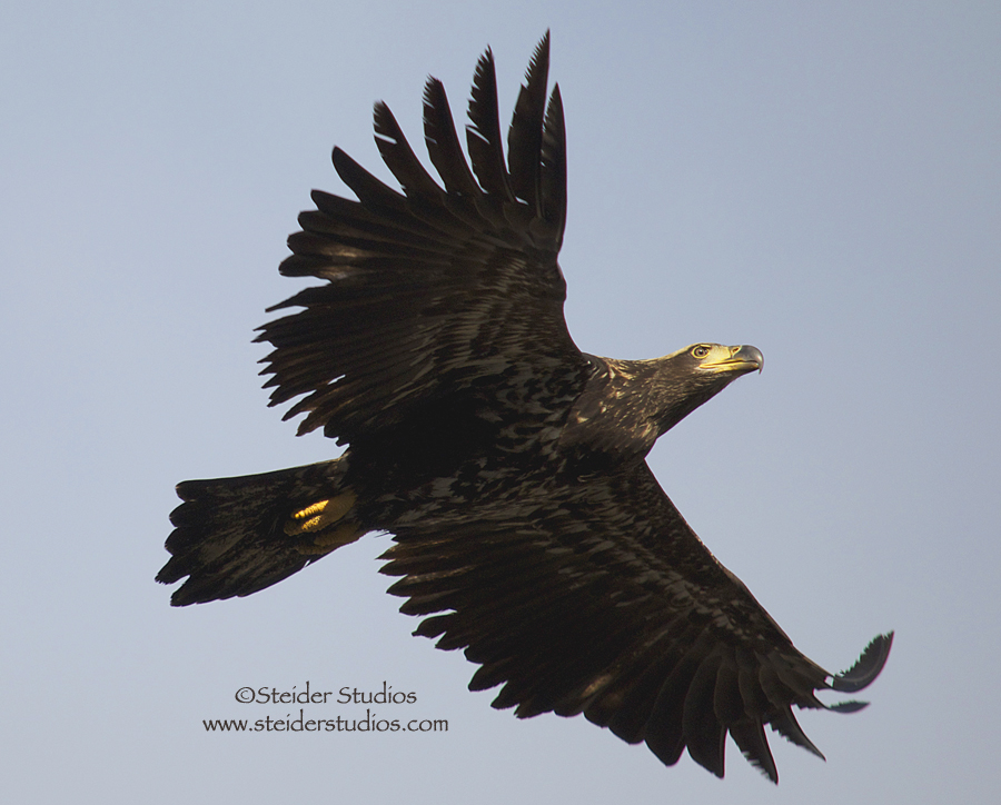 Steider Studios:  Juvenile Eagle in Flight.12.29.13