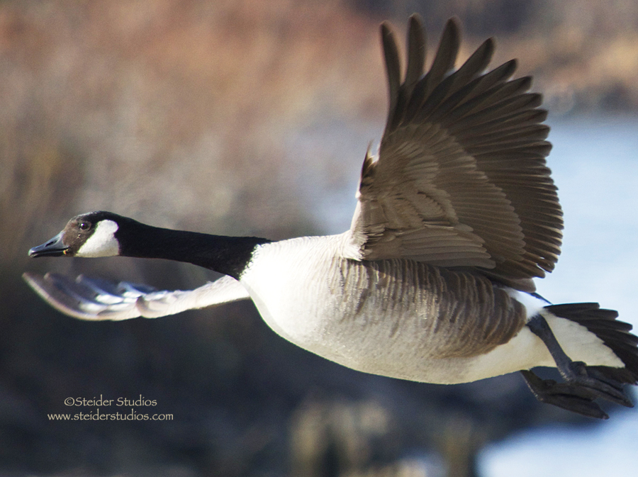 Steider Studios.Goose in Flight