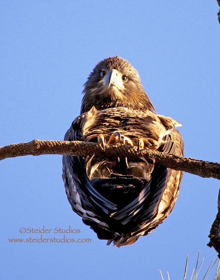 Steider Studios:  Juvenile Bald Eagle From Underneath  .1.5.14