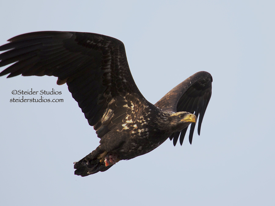 Steider Studios:  Juvenile Bald Eagle in Flight, 1.6.14