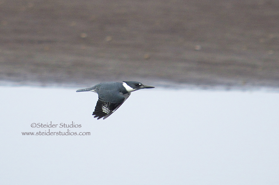 Steider Studios:  Kingfisher in Flight.1.2.14