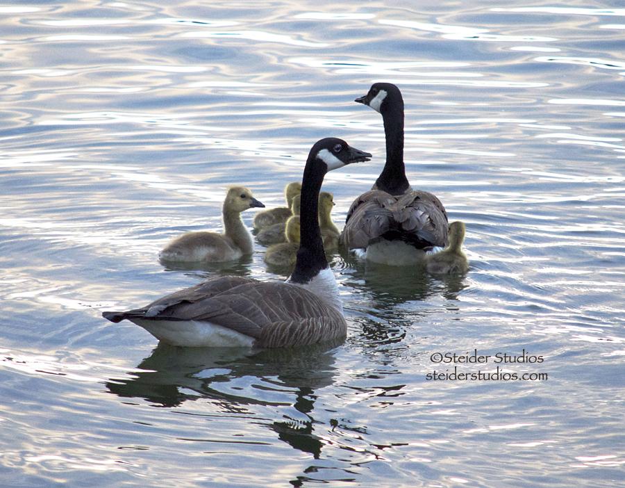 Steider Studios:  Geese with Goslings