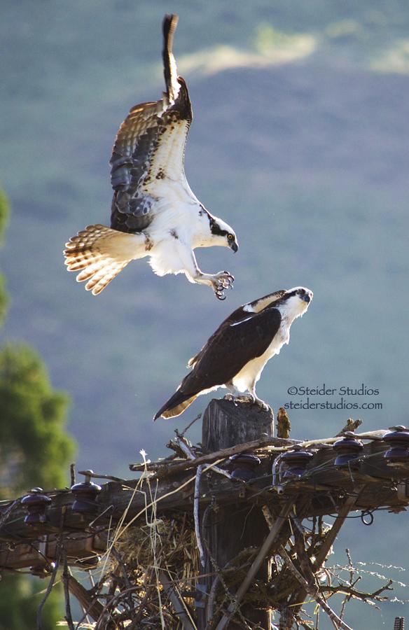 Steider Studios:  Osprey mating.1