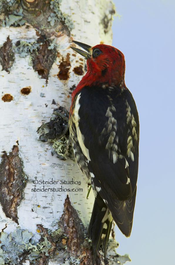 Steider Studios:  Red-breasted Sapsucker in Birch Tree