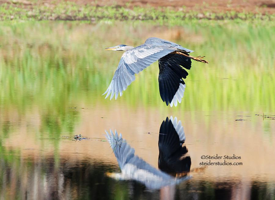 Steider Studios:  Great Blue Heron in Flight Over Mill Pond