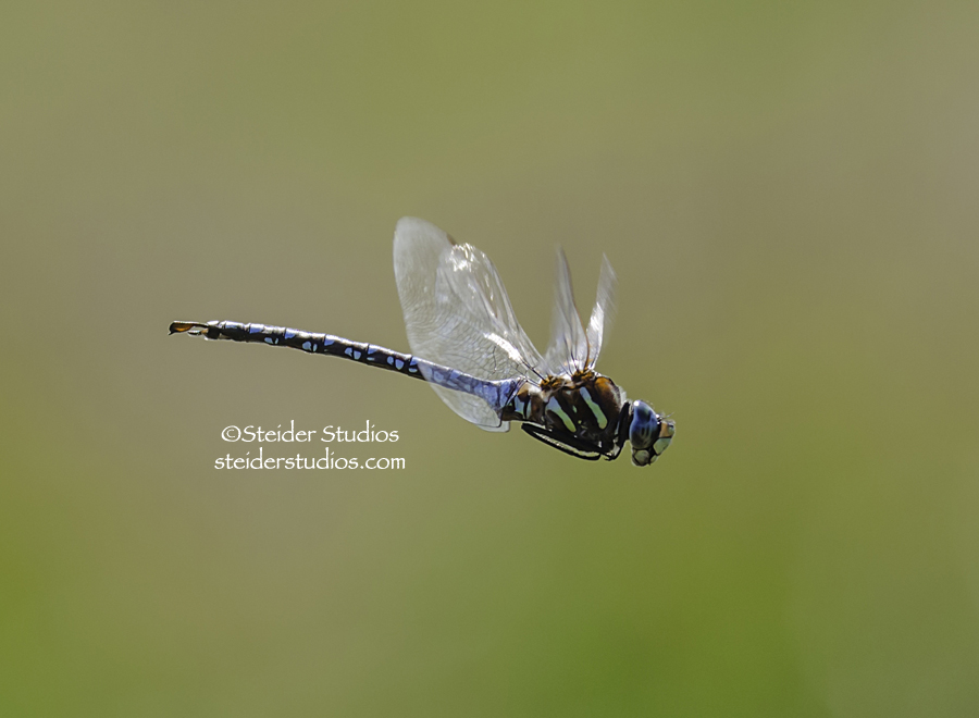 Steider Studios: Blue Dragonfly at Conboy Wildlife Refuge